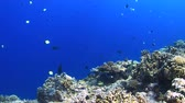 grouper : Colorful coral reef with Unicornfish, Grouper, Fusiliers and Damselfih. 4k footage Stock Footage