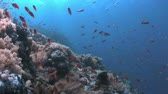 biodiverzitás : Coral reef with healthy hard and soft corals and plenty of fish. 4k footage