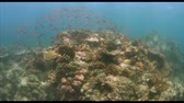 biodiverzitás : Coral reef with healthy hard and soft corals and plenty of fish. School of Butterflyfish, Anthias and Damselfish. 4k footage