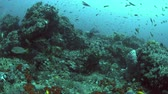 deniz yaşamı : Canyons - coral reef with plenty fish. Sweetlips, Snapper and Anthias 4k footage