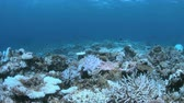 地球温暖化 : Bleached corals. Coral bleaching is the result of water heating. Above-average seawater is caused by global warming