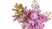 syringa : Time-lapse of purple lilacs blooming on white background 4k