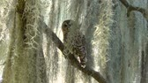 musgo : Barred Owl Perches on a Branch