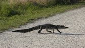 скрестив : Wild Florida Alligator Crossing a Path