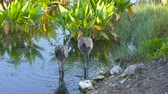 crane : A Pair of Sandhill Cranes in the water Stock Footage