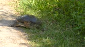 рептилия : Female Florida Softshell Turtle laying eggs