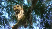 młoda : Young Barred Owl Perches on a Branch