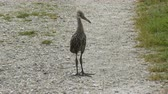 tollazat : Baby Limpkin on a trail