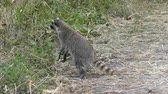 kürk : wild raccoon looking for food Stok Video