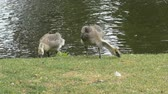 młoda : Two Canada Goslings near lake