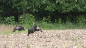 davranış : Wild Turkey hens feeding on a field Stok Video