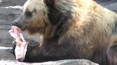 kürk : Brown bear eating a bone Stok Video