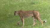 kürk : Cheetah walking