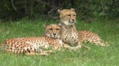 kürk : Cheetahs resting on green grass