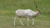 antilop : addax antelope walking