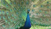 tollazat : indian peafowl male