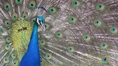 tavuskuşu : indian peafowl male