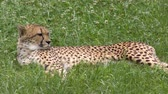 kürk : Cheetah resting on green grass