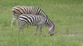 siyah beyaz : Zebras feeding on green grass