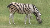 siyah beyaz : Zebra feeding on green grass Stok Video