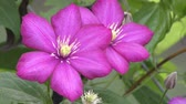 garden flowers : purple clematis blooming , close up