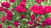 garden flowers : red roses in the garden Stock Footage