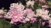 garden flowers : pink peony flowers in the garden