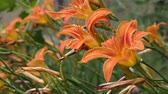 garden flowers : orange lily flowers in the garden Stock Footage