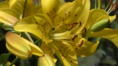 garden flowers : Yellow Lily flowers, close up Stock Footage