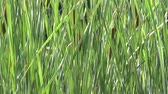verão : Cattail plants waving in the wind