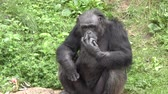 macaco : Black Chimpanzee  looking around