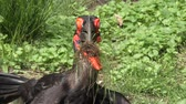 olhar : Southern Ground Hornbill with some grass in its beak
