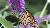 floral : monarch butterfly feeding on pink flowers in a Summer garden.