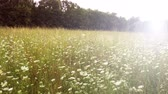 kwiaty : meadow of grass and wild flowers at sunset