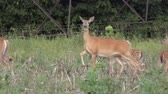 alerta : White tailed deer feeding  on the farm field Stock Footage