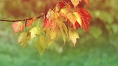 vibrante : Colorful autumn leaves in the rainy day