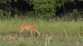 alerta : White tailed young  deer feeding  on the farm field