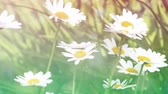 no people : Blossom of daisy flowers in the sunny day Stock Footage