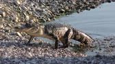 caminhada : American Alligator walking