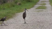 walka : Mother and Baby Limpkins in Florida Wetlands