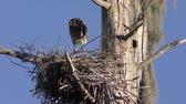 musgo : Young great blue heron in a nest Stock Footage