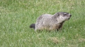 kürk : Groundhog eating some grass