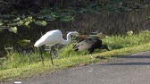 nie : Black Vulture and White Egret eating a fish