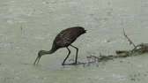 caracol : Limpkin looking for snail in Florida wetlands
