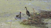 kavga : Common Gallinule and Glossy Ibis fighting in  swamp