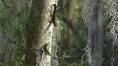 kavga : Two common Lizards on a tree Stok Video