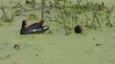 honger : Common Gallinule voedt haar chick in moeras