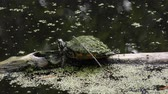 рептилия : Small turtle basking on a log