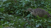 tollazat : American Bittern feeds in wetlands