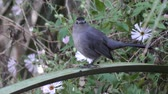 grey : gray catbird perched on a branch